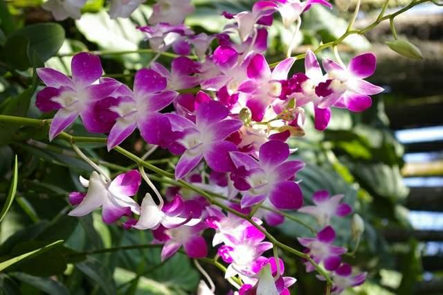 singapur-3-orhidei-08